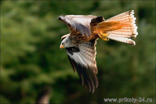 Неудачная охота орла (7 фото)